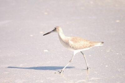tomales bay shore bird